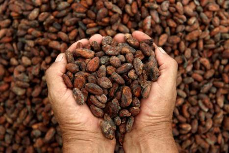cosecha_de_cacao-1